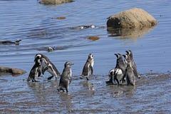 Pingvin på kusten i Patagonia Fotografering för Bildbyråer