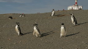 Pingvin på Magdalena Island Chile arkivfilmer