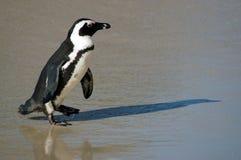 Pingvin på strand royaltyfria bilder