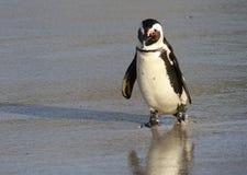 Pingvin på stranden Royaltyfria Bilder