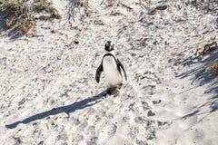 Pingvin p? stranden fotografering för bildbyråer