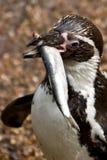 Pingvin som äter en fisk arkivbild