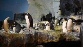 Pingvin som öppnar dess näbb för att svälja konstgjord snö på Seaworld stock video