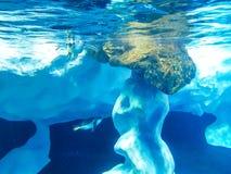 Pingvin som dyker vid isen royaltyfri fotografi