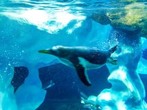 Pingvin som dyker vid isen royaltyfri foto