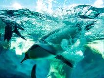 Pingvin som dyker vid isen royaltyfri bild