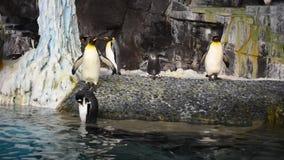 Pingvin som går i Antarcticat Seaworld lager videofilmer