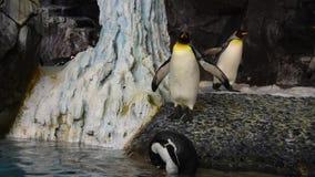 Pingvin som går i Antarktis område på Seaworld 1 lager videofilmer
