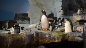 Pingvin som går medan en andra hopp i Antarktis område på Seaworld lager videofilmer
