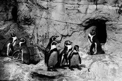 Pingvin som har ett möte Arkivbild