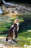 Pingvin som klivas i vattnet