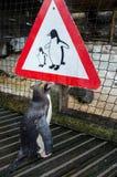 Pingvin som ser pingvintecknet Royaltyfri Bild