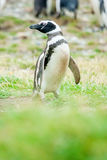 Pingvin som ser till vänstra sidan Arkivfoto
