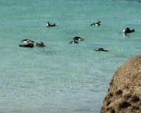 Pingvin som simmar av stenblockstranden royaltyfri fotografi
