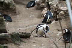 Pingvin som skrapar dess framsida i zoo Arkivfoton