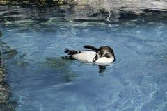 Pingvin som spelar i vattnet Royaltyfri Fotografi