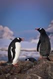 pingvin som talar två royaltyfri foto