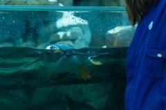Pingvin som ut simmar och ser på en person royaltyfri bild