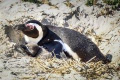 Pingvin som vilar i hans rede med fågelungen royaltyfri bild