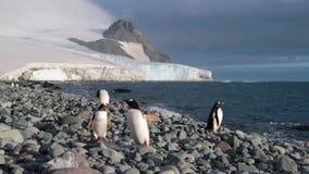 Pingvin står på kiselstenar nära vattnet och som omkring ser Andreev lager videofilmer