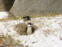 pingvin två Fotografering för Bildbyråer