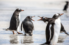 Pingvin under diskussion på Falkland Islands-2 Royaltyfri Bild