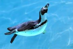 pingvin under vatten Arkivbild