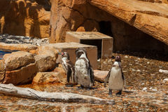 Pingvin - zoo - vatten Royaltyfria Foton
