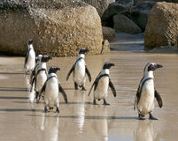 Pingvinaerobics Fotografering för Bildbyråer