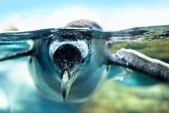 Pingvinet är under vatten Arkivfoton