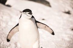 Pingvinet i Antarktis har en solig morgon Arkivfoton