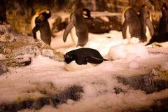 Pingvinet i seaworld Arkivfoto