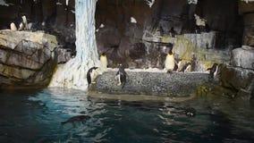 Pingvinet kommer ut ur vattnet som hoppar på Seaworld, 2 lager videofilmer