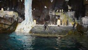 Pingvinet kommer ut ur vattnet som hoppar på Seaworld, 3 stock video