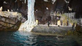 Pingvinet kommer ut ur vattnet som hoppar på Seaworld, 1 stock video