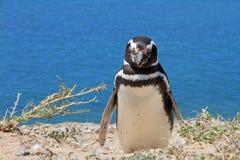 Pingvinet Magellanic på Atlanten seglar utmed kusten. Arkivbilder