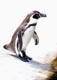 Pingvinet ordnar till för att hoppa in Royaltyfria Bilder