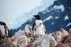 Pingvinfamilj Royaltyfri Bild