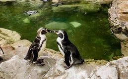 Pingvinframsida - till - framsida Arkivfoto