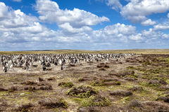 Pingvinkoloni i deras rede i Falkland Islands Arkivbilder