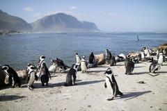 Pingvinkoloni på Bettys fjärd Sydafrika Arkivbild