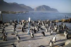 Pingvinkoloni på Bettys fjärd Sydafrika Arkivfoto