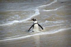 Pingvinkolonin på stenblock sätter på land, staden för Simon ` s nära Cape Town, Sydafrika royaltyfri fotografi