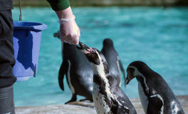 Pingvinmatning Royaltyfri Foto