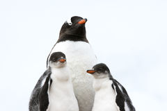 Pingvinmoder med fågelungar - gentoopingvin Royaltyfri Fotografi