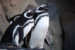 Pingvinpar Arkivbild