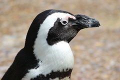 Pingvinprofil Royaltyfri Foto
