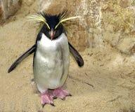 pingvinrockhopper Fotografering för Bildbyråer