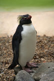 pingvinrockhopper Arkivfoto