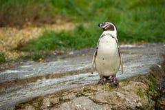 pingvinrocks arkivbilder